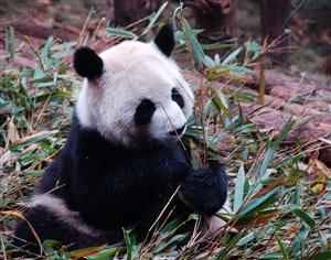 Giant Panda Breeding and Research Centre